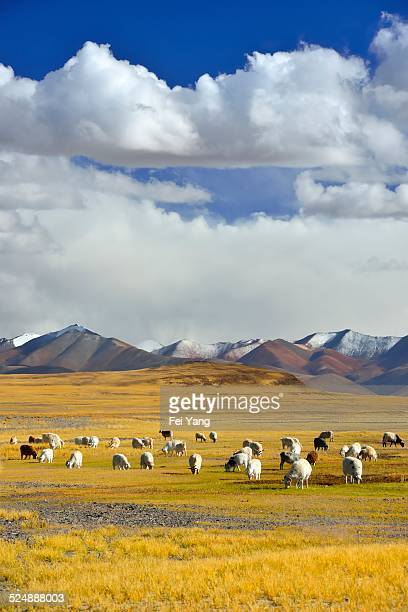 Highland pasture in Tibet