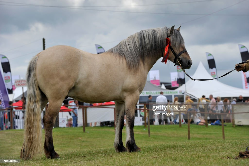 Highland pony at a show. Scotland, UK. : News Photo