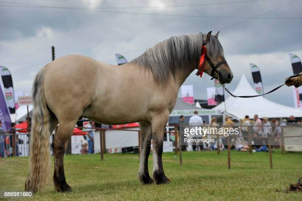 Highland pony at a show Scotland UK