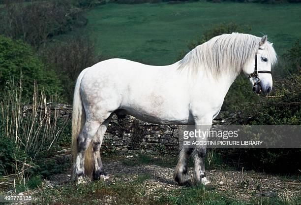 Highland pony stallion Equidae