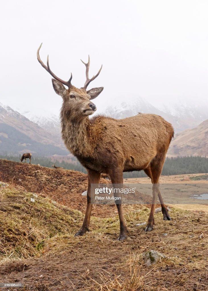 Highland stag close up : Foto de stock