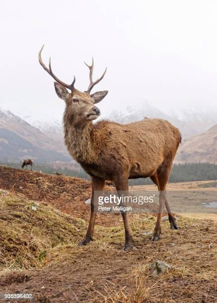 highland stag close up - red deer animal stock pictures, royalty-free photos & images