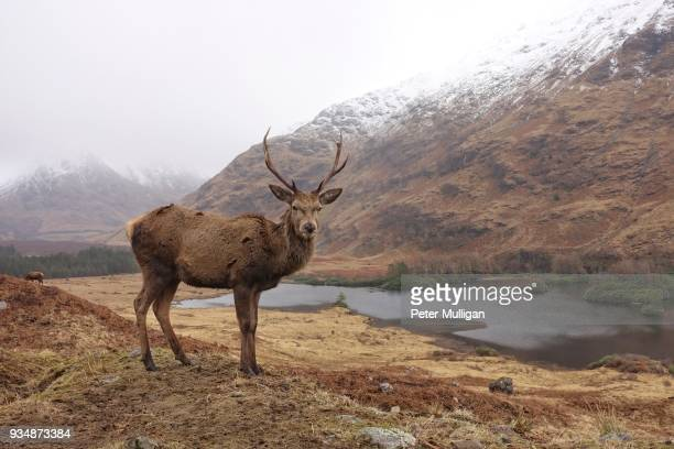 highland stag in mountain landscape - アカシカ ストックフォトと画像