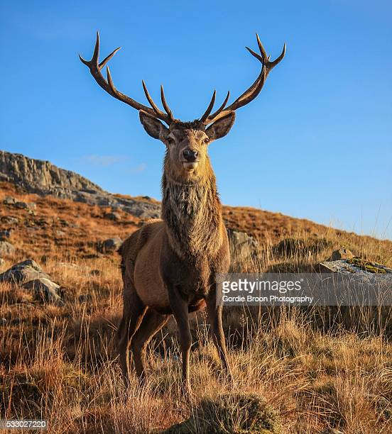 A Highland Stag.