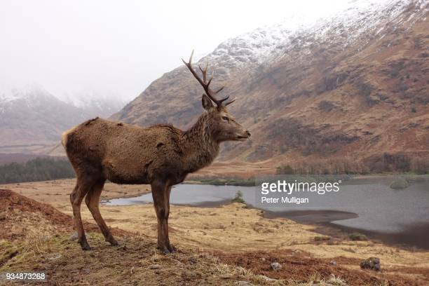 Highland stag profile