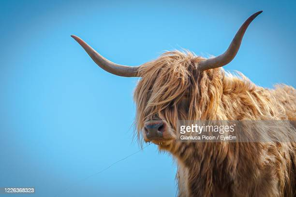 highlander cow close up with the hair moved by the wind, scotland - highland cattle stock pictures, royalty-free photos & images