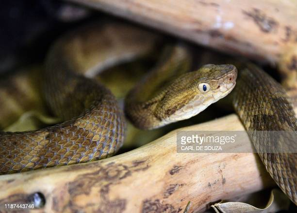 Highly venomous Golden Lancehead snake is seen at the Butantan Institue -which supplies the Ministry of Health, with many snakes' venom for its...