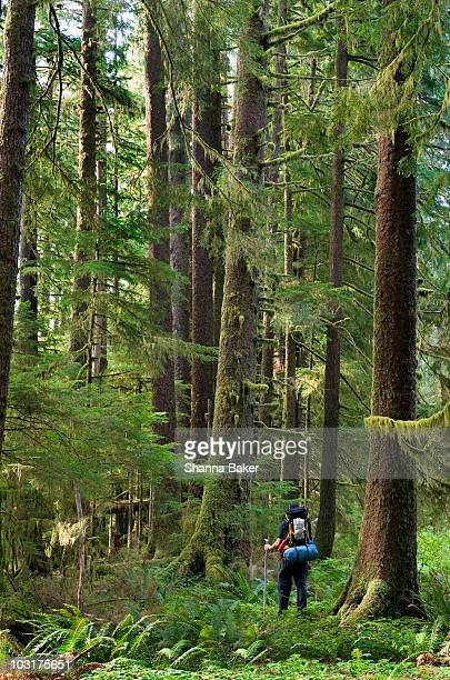 hiker amongst old-growth trees - carmanah walbran provincial park stock pictures, royalty-free photos & images