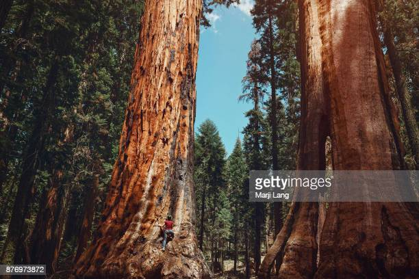 Hiker climbing a giant sequoia tree in Sequoia National Park California USA