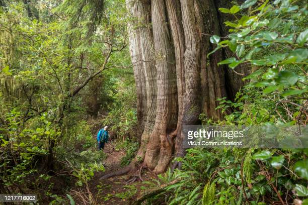 hiker exploring rainforest on meares island near tofino, british columbia. - big bulge stock pictures, royalty-free photos & images