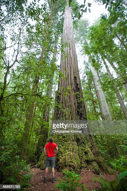 A hiker looks up at a giant Redwood Tree in Stout Grove, Jedediah Smith Redwoods State Park.