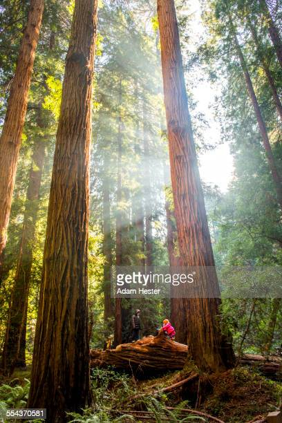 hiker sitting under tall trees in forest - muir woods stock photos and pictures