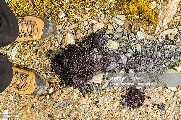 hiker stops on a hiking trail to examine some berry-filled grizzly scat, denali national park and preserve, interior alaska in autumn - cacca foto e immagini stock