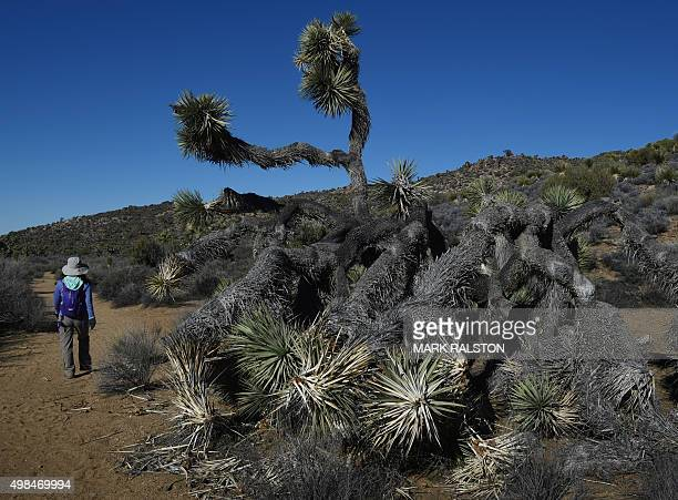 A hiker walks past a dying Joshua Tree as the drought continues to affect the state in Joshua Tree National Park California on November 21 2015...