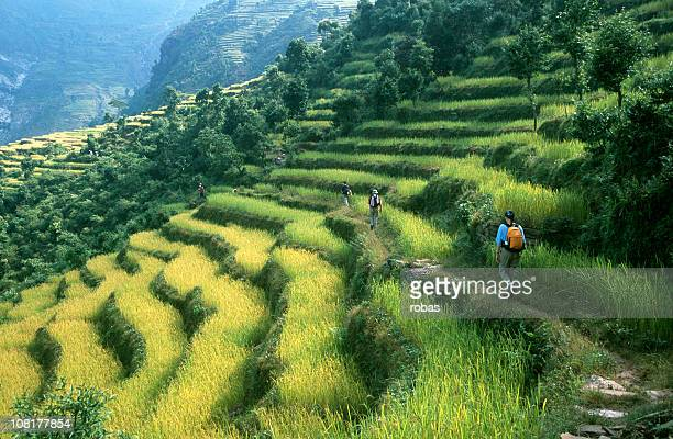 hikers trekking along rows of rice paddy - nepal stock pictures, royalty-free photos & images