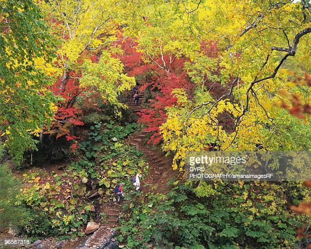 Hikers walking down a forest path surrounded by autumn colours, Kamikawa-Machi, Hokkaido, Japan