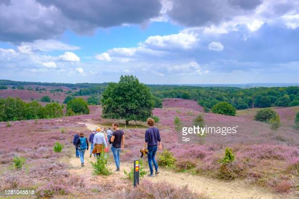 "hikers walking over the footpaths through the blooming heather hills at the posbank in national park veluwezoom - ""sjoerd van der wal"" or ""sjo"" stock pictures, royalty-free photos & images"