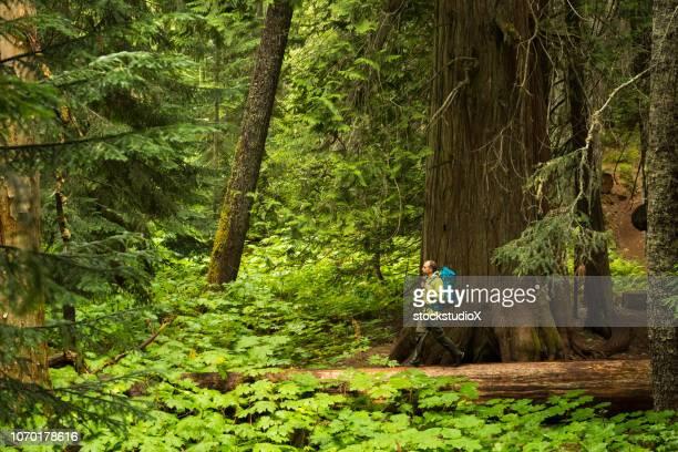 hiking in an ancient cedar forest - foresta temperata foto e immagini stock