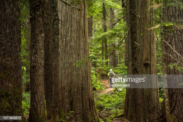 hiking in an ancient cedar forest - whistler british columbia stock pictures, royalty-free photos & images