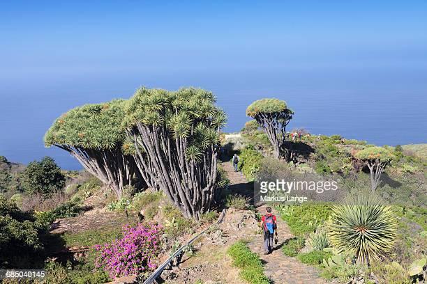 Hiking path and Canarian dragon tree (Dracaena draco), Las Tricias, La Palma, Canary Islands, Spain