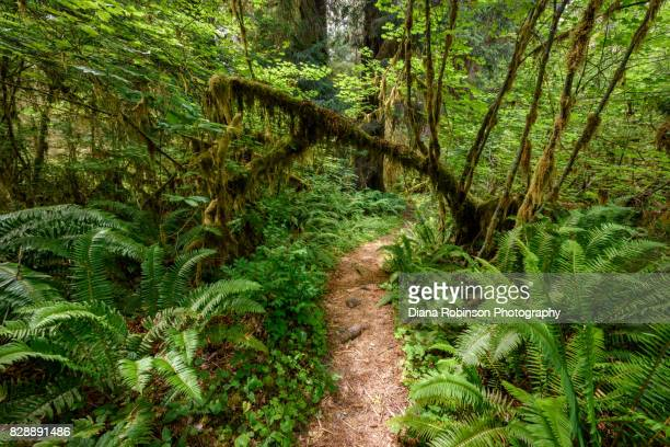 hiking path in the hoh rainforest, olympic national park, olympic peninsula, washington state - jungle stock photos and pictures