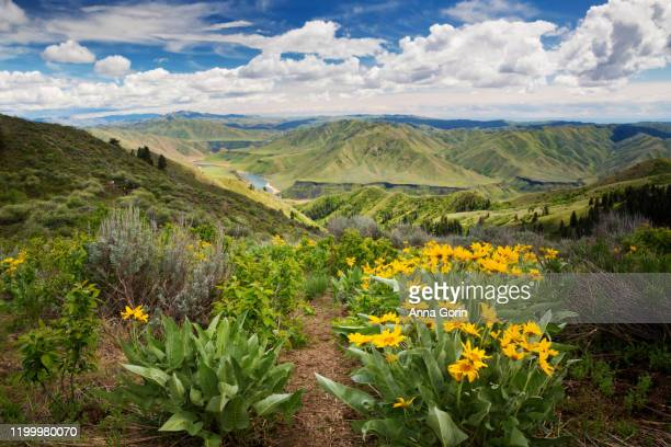hiking path lined with arrowleaf balsamroot flowers leading through rolling green landscape on trail to mount heinen with arrowrock reservoir far below outside boise, idaho - idaho stock pictures, royalty-free photos & images
