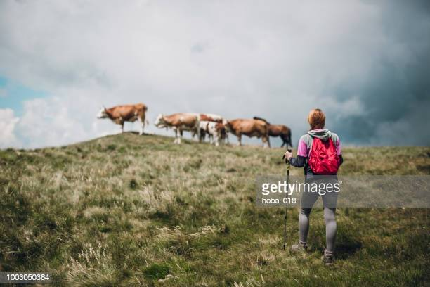 hiking - shepherd stock pictures, royalty-free photos & images