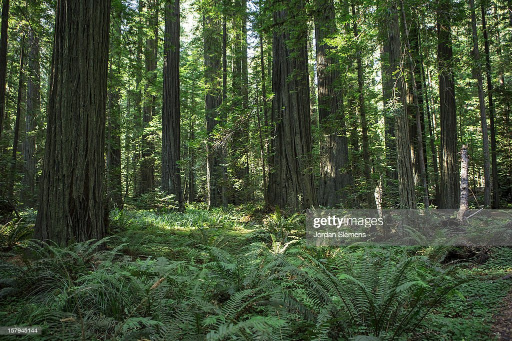 Hiking through the Redwoods. : Stock Photo