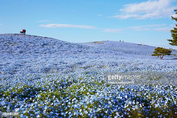 Hill Covered in Nemophila Flowers