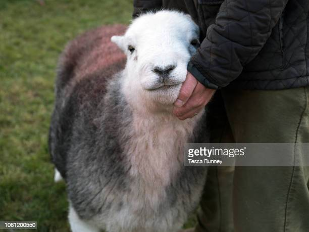 Hill farmer showing his Herdwick sheep at Buttermere Shepherds' Meet in Cumbria on 28 October 2018 Herdwick sheep are the native breed of the central...