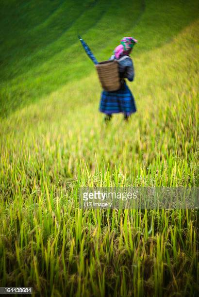 Hill tribe hmong women walking across rice terrace