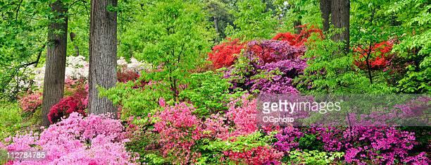 xxxl: hillside azaleas panorama - azalea stock pictures, royalty-free photos & images