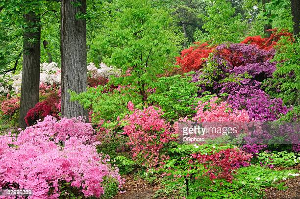 hillside azaleas - ogphoto stock pictures, royalty-free photos & images