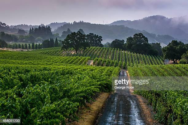 A hillside cabernet sauvignon grape vineyard at Robert Young Estate is viewed on August 7 near Healdsburg California Hundreds of wineries and grape...