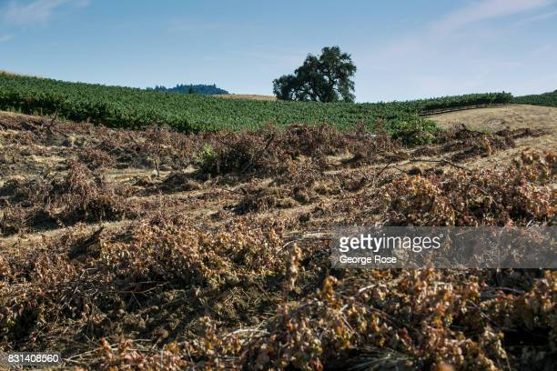 A hillside cabernet sauvignon vineyard is torn out in preparation for replanting on August 3 near Healdsburg California Following a record winter...