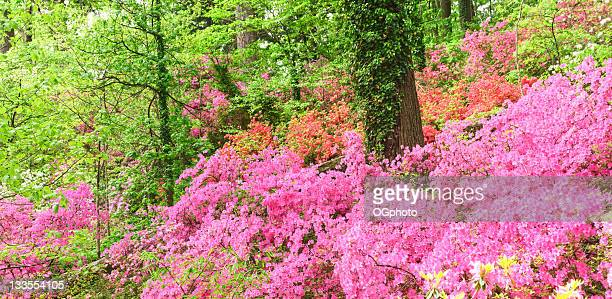 xxxl: hillside covered with azaleas - ogphoto stock pictures, royalty-free photos & images