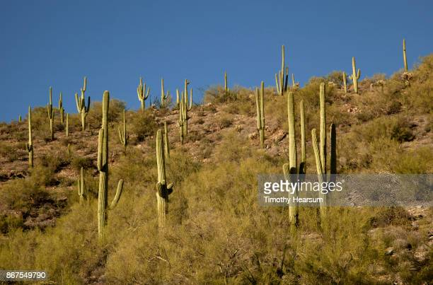 hillside covered with saguaro cacti (and other desert plants) against a clear blue sky - timothy hearsum stockfoto's en -beelden
