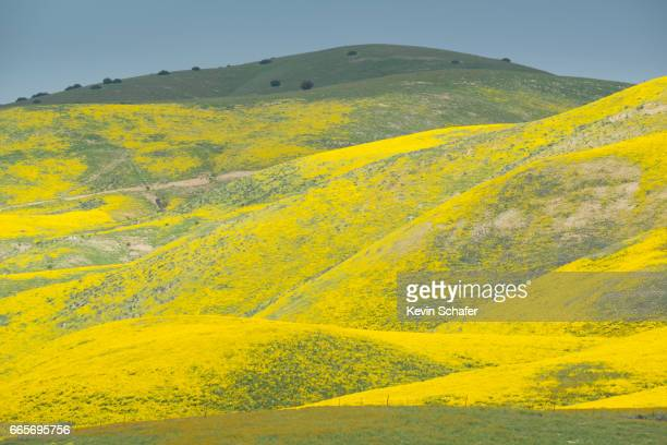 Hillside Daisies, Carrizo Plain, California