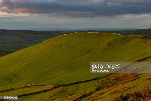 hillside full of grazing sheep on the purbeck hills, on the jurassic coast, dorset - hill stock pictures, royalty-free photos & images