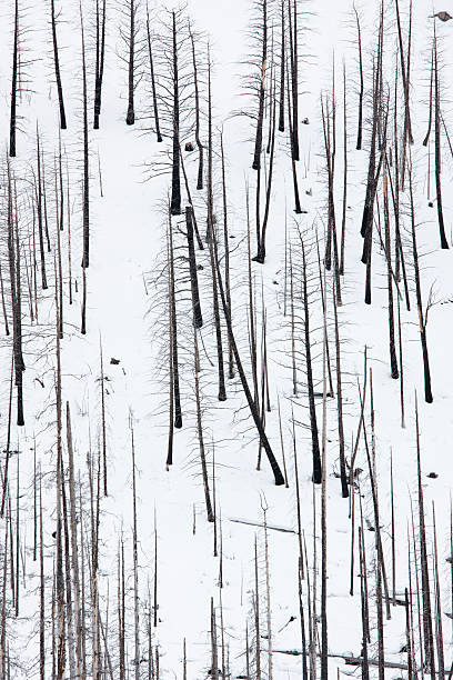 Hillside of burnt trees near Field, Yoho National Park in the Canadian Rockies, Canada