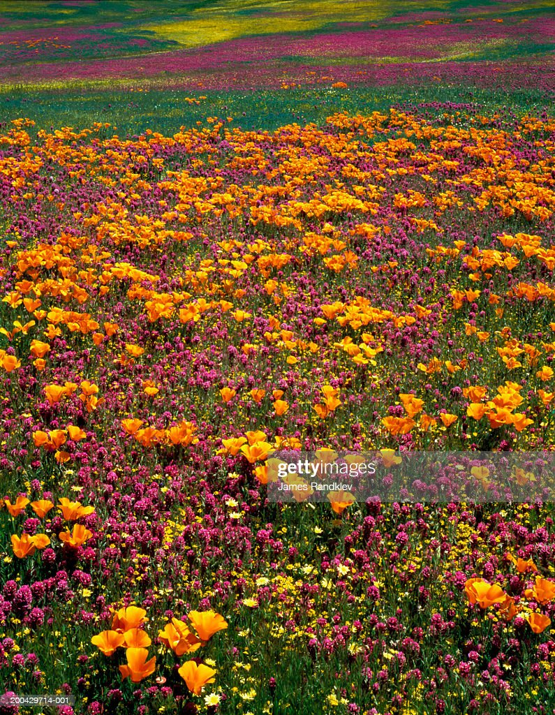 Hillside Of California Poppies And Owls Clover Stock Photo | Getty ...