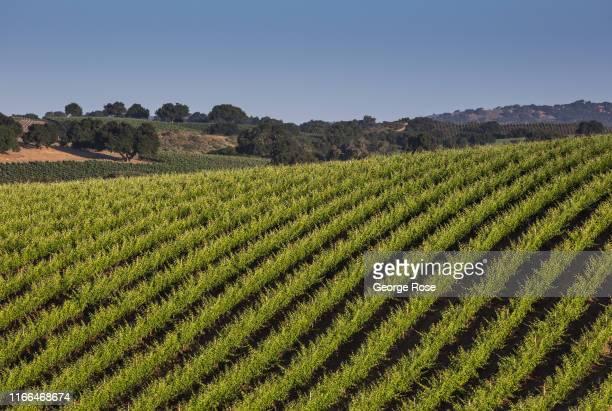 Hillside syrah vineyard at Stolpman Vineyards, located in Ballard Canyon, is viewed on June 12 near Los Olivos, California. Because of its close...