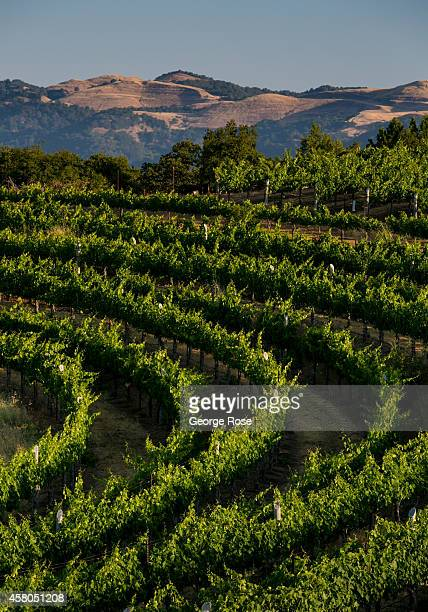 A hillside zinfandel vineyard in Sonoma County's Dry Creek Valley is viewed on August 7 near Healdsburg California Hundreds of wineries and grape...