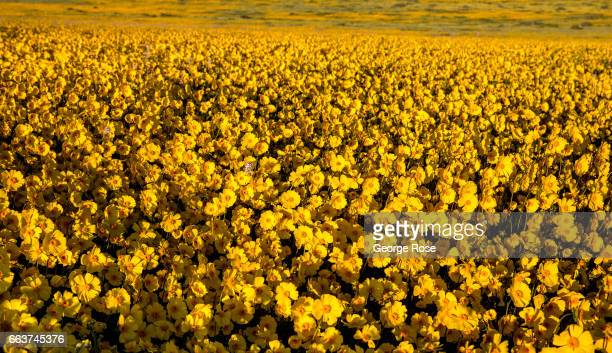 Hillsides and pastures covered in a carpet of bright yellow golden field wildflowers are drawing thousands of visitors this spring to Carrizo Plain...