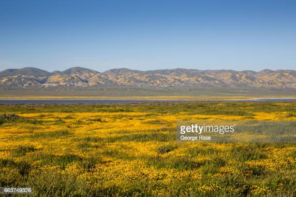 Hillsides and pastures covered in a carpet of bright yellow golden field wildflowers are drawing thousands of visitors with cameras this spring to...