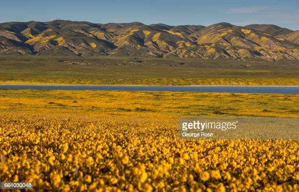 Hillsides and pastures covered in a carpet of golden field wildflowers are drawing thousands of visitors this spring to Carrizo Plain home to...
