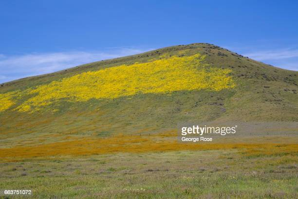 Hillsides and pastures covered in a carpet of golden field wildflowers is drawing thousands of visitors this spring to Carrizo Plain home to...
