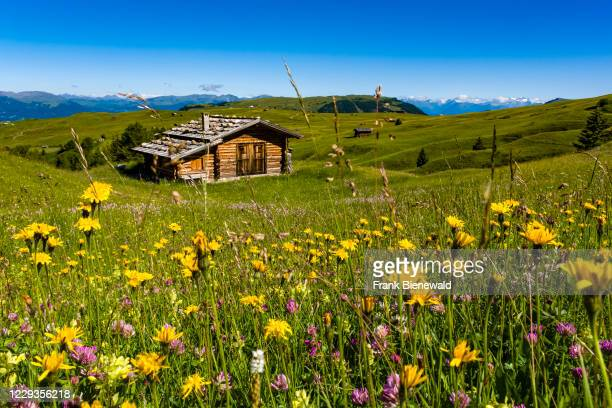Hilly agricultural countryside with blooming green pastures and wooden houses at Seiser Alm, Alpe di Siusi.