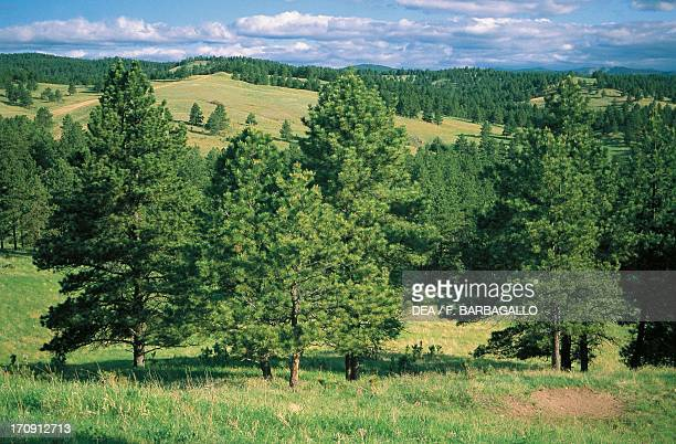 Hilly landscape with conifers, Black Hills, Custer State Park, South Dakota, United States of America.