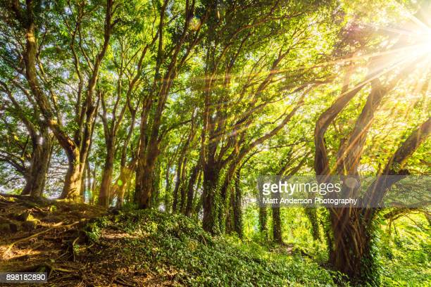 Hilo Banyan Tree #4